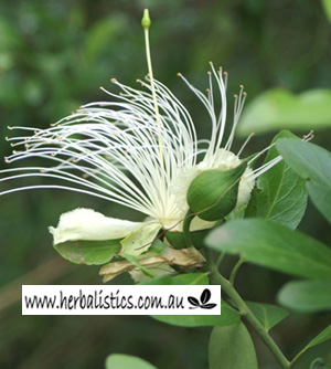 Capparis mitchellii - Wild Orange (seed)