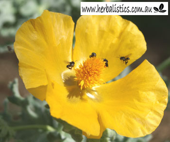 Glaucium flavum - Yellow Horned Poppy (seed)