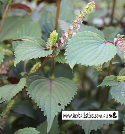 Perilla frutescens - Red Shiso (seed)