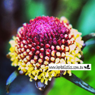 Spilanthes oleracea - Toothache plant (seed) image 1