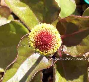 Spilanthes oleracea - Toothache plant (seed) image 2